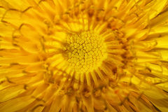 Bright yellow dandelion close up. Extreme close up Royalty Free Stock Photo