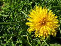 Bright yellow dandelion. Closeup of a bright yellow blooming Sow Thistle & x28;Sonchus oleraceus& x29; on green grass background stock photography