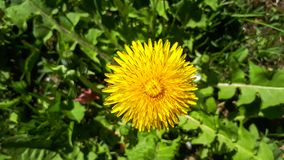 Bright yellow dandelion. Closeup of a bright yellow blooming Sow Thistle (Sonchus oleraceus) on green grass background royalty free stock images