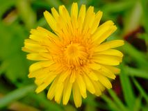 Bright yellow dandelion flower close-up. With green bokeh background , overhead view - taraxacum Royalty Free Stock Photography