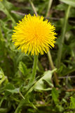 Bright yellow dandelion flower on the green field, close up, spring natural background Royalty Free Stock Photography