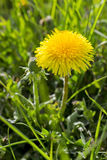 Bright yellow dandelion flower on the green field, close up, spring natural background Stock Photography