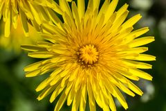 Bright, yellow dandelion flower, macro shot. With details Royalty Free Stock Photography