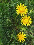 Bright yellow dandelion flowers and green leaves background fresh grass texture spring blooming nature outdoor blossom summer. Bright yellow dandelion flowers stock images