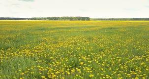 Bright yellow dandelion flowers on vast green meadow. Pictorial panorama bright yellow dandelion flowers on boundless meadow with green grass spots under grey stock video