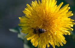 Bright yellow dandelion. royalty free stock image