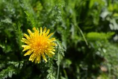 Bright yellow dandelion among lush green weeds. Bright yellow dandelion growing among lush green weeds and grass - with copy space royalty free stock image