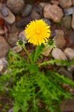 Bright yellow dandelion on a neutral background stock image