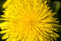 Bright yellow dandelion in spring. Close up image. Tender flower background. Soft focus royalty free stock photos
