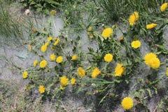 Bright yellow dandelions blossom stock photos