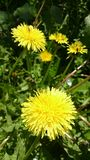 Bright yellow dandelions Royalty Free Stock Photo