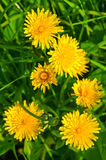 Bright yellow dandelions flowers Royalty Free Stock Photo