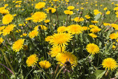 Bright yellow dandelions in green meadow. Spring time season in May in Eastern Europe dandelion abundance background Royalty Free Stock Photo