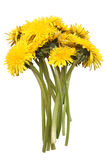 Bright yellow dandelions Stock Images
