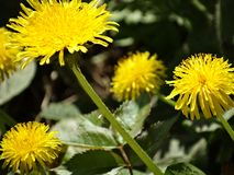 Bright yellow dandelions stretch to sunlight. royalty free stock photography