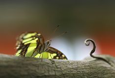 Yellow with dark stripes butterfly sitting on the green leaf. Bright Yellow with dark stripes butterfly sitting on the green leaf royalty free stock photos