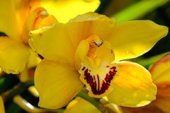 An isolated yellow orchid in the garden stock photography