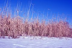 Bright yellow dry reeds and white snow close up, blue sky stock image