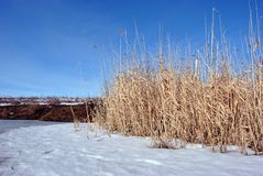 Bright yellow dry reeds on river bank covered with snow, blue sky stock photos