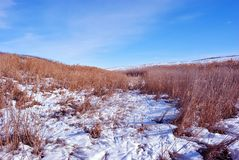 Bright yellow dry reeds on river bank covered with snow, blue sky stock image