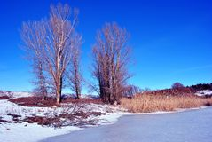 Bright yellow dry reeds on river bank with poplar trees without leaves, hills covered with snow, blue sky. Bright yellow dry reeds on river bank  with poplar stock images