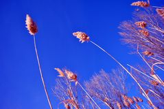 Bright yellow dry reeds and trees without leaves, bright blue sky, view from ground on top. Sunny day stock photography