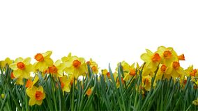 Bright yellow of Easter bells daffodils Narcissus spring flowe. R field in springtime isolated on white background, clipping path included royalty free stock image