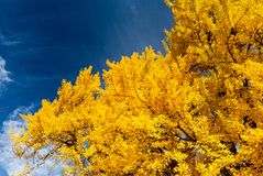Bright yellow fall colours, Boston Common, USA. Royalty Free Stock Photo