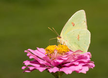 Bright yellow female Cloudless Sulphur butterfly Royalty Free Stock Images