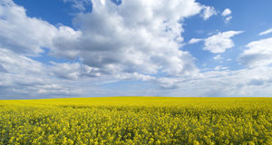 Bright yellow field of rapeseed in Ukraine Stock Photos