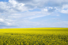 Bright yellow field of rapeseed in Ukraine Stock Images