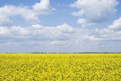 Bright yellow field of rapeseed in Ukraine Royalty Free Stock Images