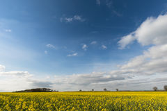 Bright yellow field of rapeseed under blue sky and fluffy clouds Royalty Free Stock Photo