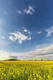 Bright yellow field of rapeseed under blue sky and fluffy clouds Stock Photos