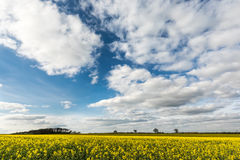Bright yellow field of rapeseed under blue sky and fluffy clouds Royalty Free Stock Images
