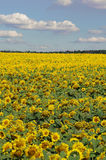 Bright yellow field of sunflowers and blue sky with clouds Stock Image