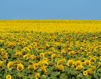 Bright yellow field of sunflowers and clear blue sky Royalty Free Stock Photos