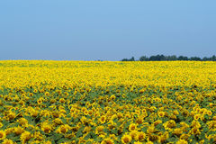 Bright yellow field of sunflowers and clear blue sky Royalty Free Stock Photo
