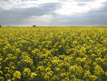 Bright yellow field under sky with clouds Stock Photos