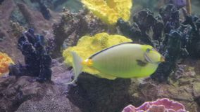 Bright yellow fish swimming. Through coral reef stock video footage