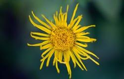 Bright yellow flower Stock Photos