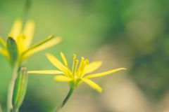 Yellow blooming buttercup on a sunny spring forest glade. Bright yellow flower of a forest buttercup on a background of fresh green leaves. Spring holiday card royalty free stock images