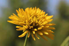 A bright yellow flower only in the garden Royalty Free Stock Image