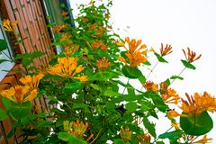 Bright yellow flower grows up on the building, climb up it. lots of petals and stamens. Flowering Bush Stock Photography