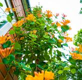 Bright yellow flower grows up on the building, climb up it. lots of petals and stamens. Flowering Bush Stock Photo