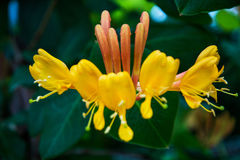 Bright yellow flower grows up on the building, climb up it. lots of petals and stamens. Flowering Bush Stock Images