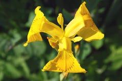 wild yellow iris flowers stock photo  image, Beautiful flower