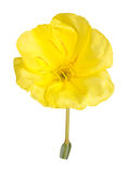 Bright yellow flower of the Missouri evening primrose isolated a Royalty Free Stock Images