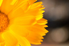 Bright yellow flower petals glowing in the sunlight. Close up of bright yellow flower petals in sunlight with bokeh in the background Stock Image