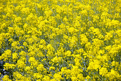 Bright Yellow Flower Royalty Free Stock Photos